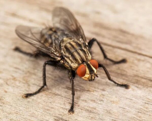 Image of a Housefly on a Wood Plank - FlyTrap.in