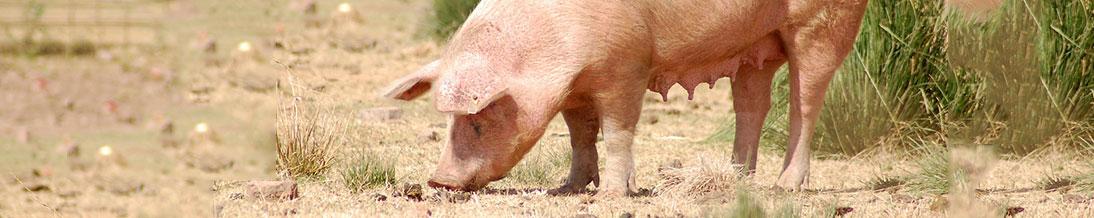 Pig Farm in India